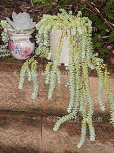Drought tolerant succulent plant, Sedum morganianum. commonly known as Burro's Tail.