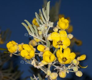 Yellow flowers and grey green leaves of Senna artemisioides syn. Cassia, a flowering shrub in outback Queensland, Australia