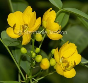 Flowers of Easter Cassia, Senna pendula var. glabrata - a South American species that's become a weed in Australia.