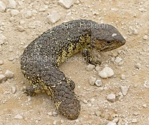 Shingleback lizard, Tiliqua rugosa, which is also known as a blue-tongued or bobtail lizard, in outback Australia.