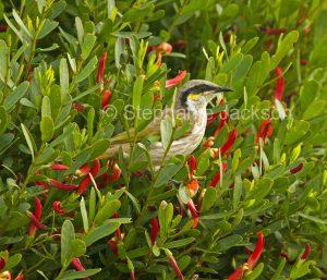 Australian bird, singing honeyeater, Lichenostomus virescens, among flowers of native shrub, Templetonia retusa, in South Australia