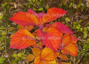 Vivid orange / red foliage of Solenostemon scutellarioides 'Campfire', a perennial plant that's commonly known as 'Coleus'.