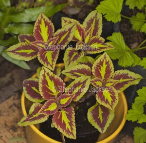 Red and lime green foliage of Solenostemon scutellarioides, a perennial plant that's commonly known as 'Coleus'.