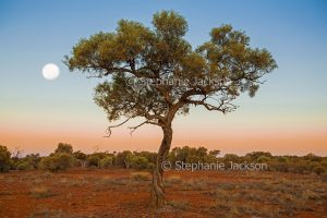 Solitary tree in outback landscape with full moon in sky at dawn in the Northern Territory, Australia