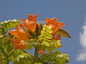Flowers of Spathodea campanulata, African Tulip Tree. against a background of blue sky