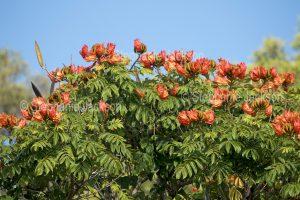 Spathodea campanulata, African Tulip Tree.