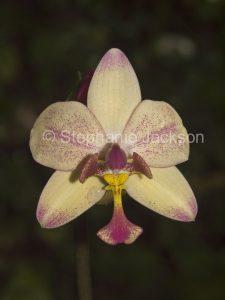 Flower of Spathoglottis plicata, an Australian native ground orchid, on dark green background, in NSW Australia.