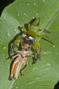 Male northern green jumping spider, Mopsus mormon, with its prey, a grasshopper, on a leaf in a garden in Queensland Australia.