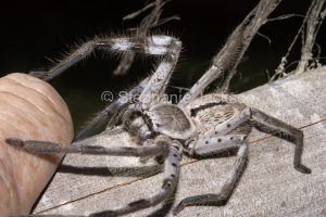 Huntsman spider, Holconia immanis with long hairy legs touching a man's hand, in Queensland Australia.