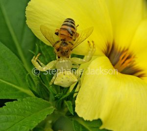 Yellow crab spider, Thomisus species, on a yellow flower, holding a bee that is its prey, in a garden in Queensland Australia.