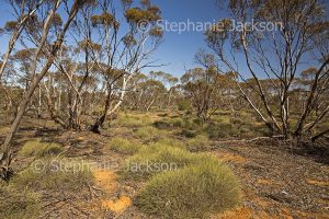 Arid Australian outback landscape of mallee eucalyptus trees and porcupine grass spinifex, Triodia in Mungo National Park in NSW Australia