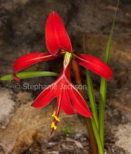 Vivid red flower of Sprekelia formosissima, Jacobean Lily.