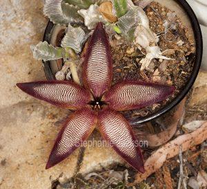 Unusual star shaped flower of drought tolerant succulent plant, Stapelia gettlefii.
