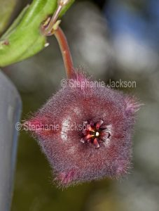 Unusual brown / red furry flower of succulent plant Stapelia obducta