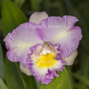 Pink / mauve flower of orchid, Stellamizutaara Topaz 'Dearest Romance'.