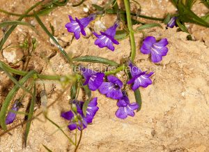 Purple flowers of Stemodia viscosa, a low growing shrub, in outback Australia.