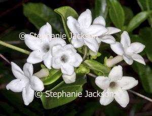 White perfumed flowers of Stephanotis floribunda syn.S. jasminoides, a climbing plant that's commonly known as Madagascar Jasmine / Waxflower / Bridal Wreath.