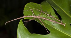 Stick insects mating in a garden in Queensland Australia.