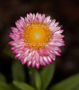 Red / pink flower of Xerochrysum bracteatum, Strawflower, Everlasting Flower, Paper Daisy on dark background