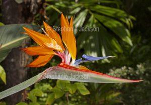 Unusual flower of Strelitzia reginae, Bird of Paradise / Crane Flower.