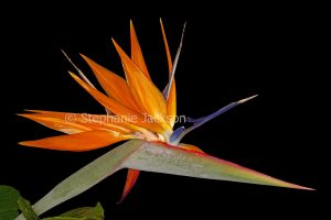 Unusual flower of Strelitzia reginae, Bird of Paradise / Crane Flower, on a black background.