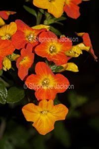 Bright orange flowers of Streptosolen jamesonii syn. Browallia jamesonii, commonly known as 'Marmalade Bush'.