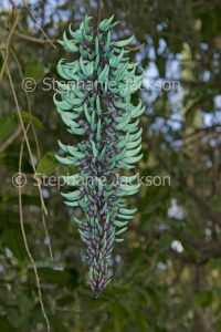 Unusual turquoise blue / green flowers of Jade Vine, Strongylodon macrobotrys, a tropical climbing plant.