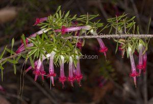 Flowers of Styphelia tubiflora, Red Five Corners, in Watagans National Park in NSW Australia.