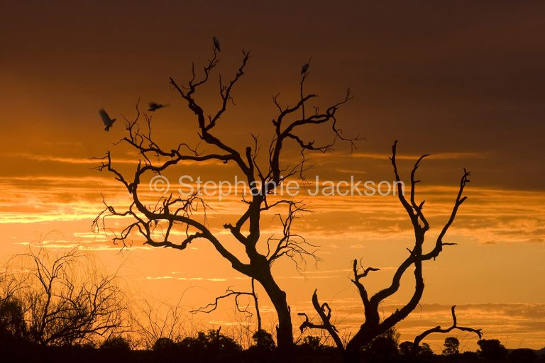Dead tree silhouetted against colourful sky at sunset near Binnaway in NSW Australia - with cockatoos arriving to roost for the night.