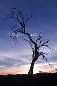 Dead tree silhouetted against colourful sky at sunset near Ruby Gap in the East MacDonnell Ranges in the Northern Territory, Australia