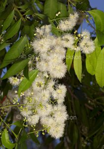 Cluster of creamy white flowers and green leaves of Syzygium floribundum, weeping lilly pilly, in Queensland Australia.