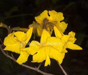Golden yellow flowers of Tabebuia chrysotricha, Tellow Trumpet Tree. on dark background