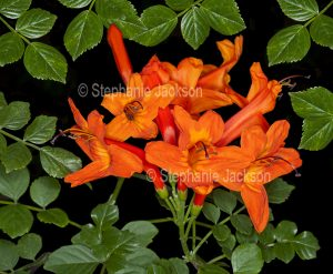 Vivid orange / red flowers of Tecoma capensis, a drought tolerant shrub that originated in southern Africa and that's commonly known as 'Cape Honeysuckle'