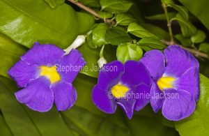 Thunbergia erecta, an evergreen drought tolerant shrub that's commonly known as KIng's Mantle.