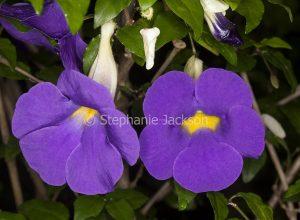 Purple flowers of Thunbergia erecta, KIng's Mantle.