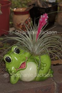 Tillandsia houston, a bromeliad, commonly known as an air plant, with vivid pink bracts / flowers, growing in a container - a comical frog.