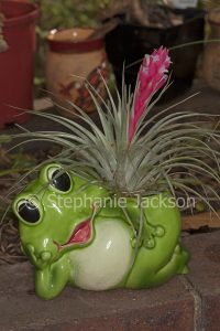 Tillandsia houston, bromeliad, with bright pink / red bracts and tiny white flowers growing in unusual green frog container