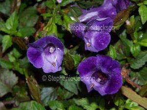 Deep purple flowers of Torenia fournieri, 'Blue Magic', Wishbone Flower.