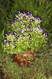 Purple and white flowers of Torenia fournieri, Wishbone Flower, growing in a decorative pot.