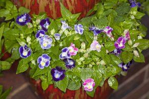 Purple and pink flowers of Torenia fournieri, Wishbone Flower, with raindrops on flowers and foliage