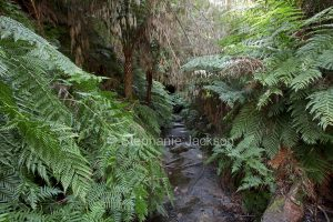 Narrow walking trail almost hidden by dense ferns of forest leading to entrance to old tunnel, disused historic railway tunnel, in Wollemi National Park in NSW Australia