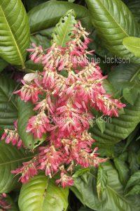 Cluster of pink flowers and green leaves of Triplaris weigeltiana syn Triplaris surinamensis, Antwood Tree.