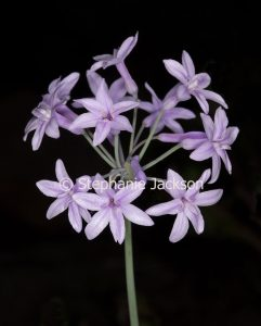 Cluster of mauve flowers of Tulbaghia violaceae, Society Garlic. on black background