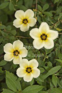 Pale yellow flowers of Turnera elegans , Cuban Buttercup.