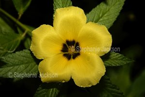 Yellow flower and dark green leaves of Turnera elegans 'Early Bird', Cuban Buttercup, with raindrops on petals on dark background