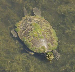 Freshwater Krefft's turtle, Emydura macquarii krefftii, in water with carapace / shell covered in algae in Tondoon botanic gardens, Gladstone Australia