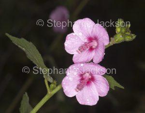Pink flowers of Urena lobata, introduced species, Caesar weed, Congo jute, urena burr, environmental weed in Queensland Australia,