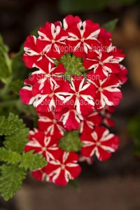 Red and white flowers of Verbena 'Voodoo' hybrid.on drk background