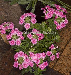 Pink flowers of Verbena peruviana, 'Kapow'. perennial ground cover, rockery plant
