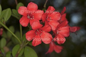 Red flowers of Vireya Rhododendron locjhiae, an Australian native shrub.